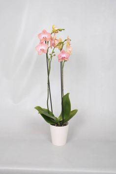 Orchideepakket Ravello inclusief pot & kaartje