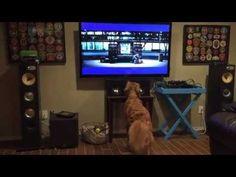 A este Golden Retriever le encanta ver tenis por la TV