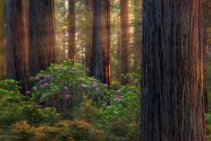 *🇺🇸 Redwood Forest (Crescent City, California) by Miles Morgan 🌲 Mother Earth, Mother Nature, Beautiful World, Beautiful Places, Redwood Forest, Old Trees, Woodland Forest, Walk In The Woods, Beautiful Landscapes