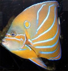 Bluering angelfish  Pomacanthus annularis