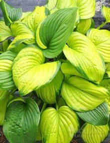 Stained Glass Hosta