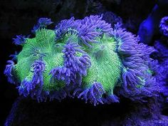 Elegance Coral (Catalaphyllia jardinei) - a MUST have!