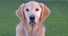 ★1/7/16 SL★MARLEY NEEDS A LOVING HOME. THIS ANGEL IS PURE LOVE AND LIGHT!★This is Marley - 6 yrs. His owner passed away and he came to rescue an emotional wreck. He went to foster but became too attached and rescue sent him to a behaviorist - he is special needs due to obsession with his person. He is neutered, current on vaccinations, potty trained, good with dogs, Needs leash work. Homeward Bound GRR, CA. - http://www.homewardboundgoldens.org/available-dogs/special-needs/marley.html