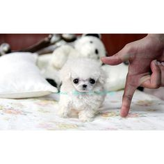 teacup poodle, isn't she adorable? Teacup Puppies, Cute Puppies, Cute Dogs, Dogs And Puppies, Very Small Dogs, Baby Animals, Cute Animals, Tea Cup Poodle, Animal 2