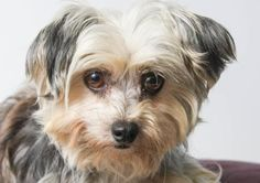 Adopt Ellie, a lovely 6 years  3 months Dog available for adoption at Petango.com.  Ellie is a Terrier, Yorkshire / Bichon Frise and is available at the National Mill Dog Rescue in Colorado Springs, Co.  www.milldogrescue.org #adoptdontshop  #puppymilldog   #rescue  #adoptyourfriendtoday