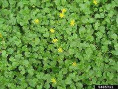 Image 5485711 is of lesser celandine, fig buttercup (Ficaria verna ) plant(s). Cleveland Metroparks, Invasive Plants, Buttercup, Garden Plants, Fig, Herbs, Leaves, Gardening, Landscape