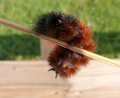 Banded Wooly Bear (Pyrrharctia isabella)   by sages-place: This is the larval form of the Isabella Tiger Moth and is commonly found in cold regions. It emerges from the egg in the fall and overwinters in caterpillar form when it literally freezes solid. In the spring it emerges to pupate. They are not venomous, but may cause dermatitis in people with sensitive skin. http://en.wikipedia.org/wiki/Pyrrharctia_isabella #Wooly_Bear #Isabella_Tiger_Moth