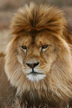(photography): African Male Lion With a Mod Doo. Big Cats, Cool Cats, Big Cat Family, Funny Animals, Cute Animals, Fierce Animals, Lion And Lioness, Exotic Cats, Male Lion
