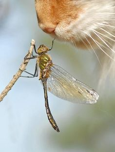 Hi, I'm Dragonfly. Nice to meet you! This is the coolest picture. Especie Animal, Mundo Animal, Crazy Cat Lady, Crazy Cats, Photo Chat, Fauna, Nice To Meet, Belle Photo, Beautiful Creatures