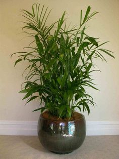 Bamboo Home Lucky Bamboo Plants.Good Luck Plants: Learn About Some Lucky Plants You Can Grow. Interesting Facts About Lucky Bamboo Plant Ferns N Petals. Lucky Bamboo Indoor House Plant Bring Good Luck And Good . Home Design Ideas Lucky Bamboo Plants, Bamboo Palm, Bamboo Tree, Bamboo House, Houseplants Safe For Cats, Indoor Palms, Plants Indoor, Palm Plants, Green Plants
