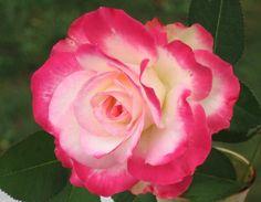 rose -cherry-parfait.jpg
