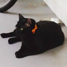 Our feline employee too ups the game by dressing up as.... Herself  Complete with a stylish orange ribbon collar for the occasion  #blackcat #halloween #trickortreat #dressup #Nyan #kitty #cats #catsofinstagram #sgig #sgpetlovers #sgpets #sgcats #petsmagazinesg #clubpetsmagazine #ilovemycat #magasinmiyabi http://buff.ly/2e2O0cb