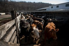 US, #China #reach #preliminary trade agreements on beef, poultry...