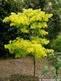 cercis hearts of gold | Cercis canadensis 'Hearts of Gold'