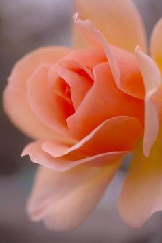 Apricot Rose by Tsutomu Akabane on 500px
