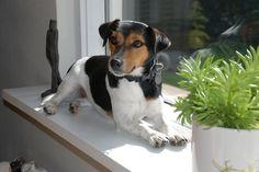 Jack Russel Terrier   Lilo, a Jack Russel Terrier ----------…   Flickr