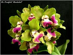 Orquídea Blc. Crowfield 'Mendenhal'