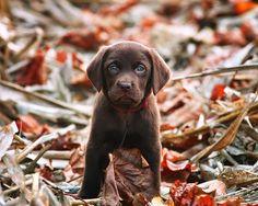 Lab puppy in fall leaves / Photo by Joseph Hostettler / Via http://www.flickr.com/photos/hostettler-photo/6240672192/in/photostream