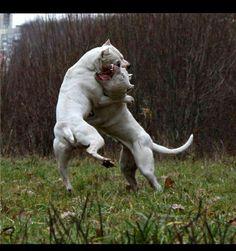 #Dogo #Argentino playing #dogs Mastiff Breeds, Dog Breeds, Animals Images, Animals And Pets, Argentinian Dog, Beautiful Dogs, Animals Beautiful, Dog Argentino, Hog Dog