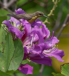 2013 Photograph, Olive-backed Sunbird (Cinnyris jugularis) Female, Queen Sirikit Park and Wachirabenchatat Park, Chatuchak, Bangkok, Thailand, © 2013.  ภาพถ่าย ๒๕๕๖ นกกินปลีอกเหลือง หญิง สวนสมเด็จพระนางเจ้าฯ จตุจักร กรุงเทพ ประเทศไทย