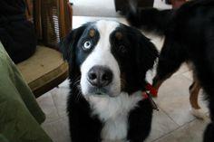 Bernese Mountain Dog, Aubry