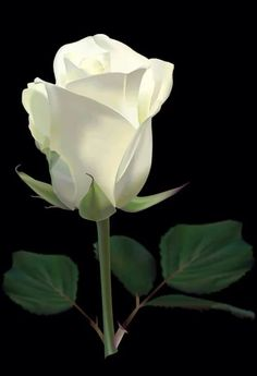 Rose for you Beautiful Flowers Wallpapers, Beautiful Rose Flowers, Exotic Flowers, Cream Roses, Pink Roses, Pink Flowers, White Rose Tattoos, Rosa Rose, Rose Images