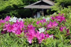 #garden, #azalea, #pink, #beautiful, #early summer,