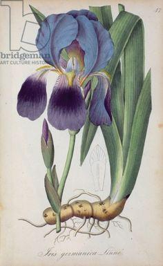 Iris, from 'Flora regni Borussici', 1833-44 (coloured engraving)