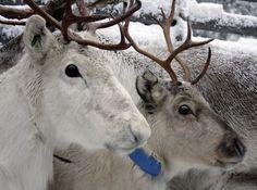 Porot  ,   Reindeers