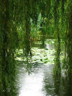 I love the calming effect a willow and a pond have on my soul....