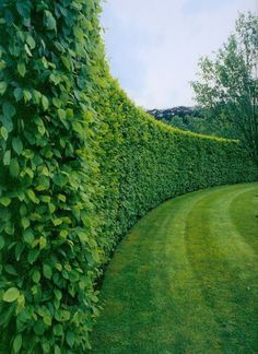 American Boxwood hedges can grow to be pretty tall, so I would recommend using those for a property line's perimeter, while English Boxwood grows short and wide, perfect for sectioning off gardens and pathways.