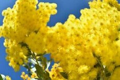 """<p dir=""""ltr"""">16""""x12"""" (41x30cm) Printed Photo of golden wattle on the blue sky .<br> West Australian. Signed by photographer . <br>  Condition is Brand New.</p> Australian Aboriginals, Photo Postcards, Western Australia, Nature Photos, Family Portraits, Vintage Photos, Sky, Printed, Blue"""