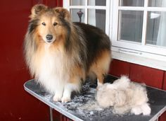 How to properly groom a sheltie.  The site doesn't show any pictures....hopefully they can fix it?