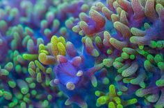 via awkwardsituationist:  daniel stoupin, a doctoral candidate in marine biology at the university of queensland, has photographed a variety of coral species using full spectrum light to reveal fluorescent pigments that would otherwise be invisible to the naked eye. each piece (click pic for name) is from the great barrier reef. given the complexity of the techniques used, which involve time-lapse and stereoscopic and focus stacked photography, the images take up to ten hours to produce in…