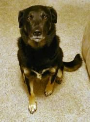 Bailey is an adoptable Shepherd Dog in Sun Prairie, WI. Hi my name is Bailey. I'm a 5 year old black lab and shepherd mix and weigh 50 lbs. I love playing fetch in my backyard and going at doggy dayca...