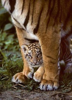 "bigcatkingdom: "" (via Indian tiger (Panthera tigris tigris) Captive | Terry Whittaker Photography) """