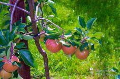 awesome Apfelplantage Königreich Numero 18,  #Landleben
