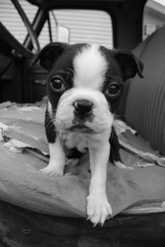 Boston Terrier. these are the most gorgeous dogs, ever.
