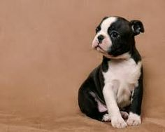 Sweet face!  Boston Terrier puppy