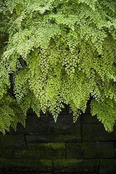 Maidenhair fern hanging over a old brick wall