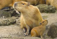 May sound crazy but the Capybara is my favorite rodent!