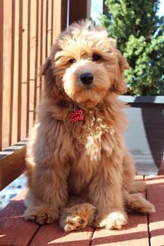 F1 Mini Goldendoodle 15 weeks old.