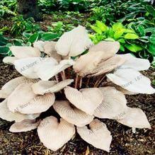 Rare Hosta Garden Perennial Plantain Lily Shade Plant (200 Pcs) – Self Sufficient Soul Plantain Lily, Ground Cover, Plants, Lily Flower, Perennials, Lily Flower Seeds, Gladiolus Flower, Hosta Plants, Flower Seeds