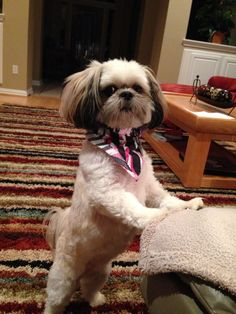 """Awesome """"shih tzus"""" info is available on our web pages. Shih Poo, Shih Tzu Puppy, Shih Tzus, Cute Puppies, Cute Dogs, Dogs And Puppies, Doggies, Pekinese, Sweet Dogs"""