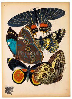 Butterflies Plate 2, E.A. Seguy