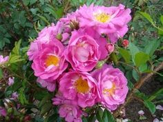 rosier grimpant on pinterest english roses penny lane and david austin roses. Black Bedroom Furniture Sets. Home Design Ideas