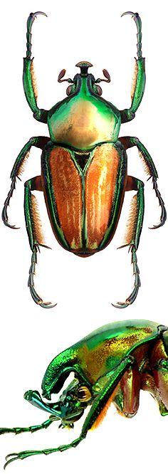 Phaedimus howdeni