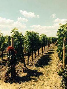 Petrus vineyard photo by Robert Parker
