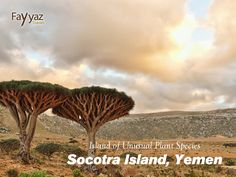 Socotra is a four islands archipelago in Indian Ocean. The unusual island belongs to Yemen. It is of continental origin and is the most isolated place in the world of that kind. It is famous for its biodiversity. Due to isolation and hot climate, plenty of endemic flora is found in Socotra. 307 out of the 825 plant species are indicated to be endemic (found only here).   #vacation #getaway #holiday #wanderlust #paradise #trip #tourist #travel #travelideas #instatravel