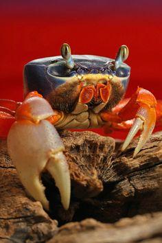 Rainbow Crab - Cardisoma armatum This handsome crab is Cardisoma armatum (Decapoda - Gecarcinidae), a species of West African land crab commonly referred to as Rainbow Crab, Moon Crab, and Patriot... Underwater Creatures, Underwater Life, Ocean Creatures, Underwater Pictures, Beautiful Ocean, Animals Beautiful, Vie Marine, Marine Life, Beneath The Sea